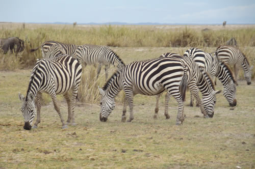 safari booking in kenya  - Zebra