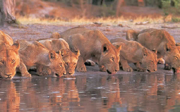 lions in the national parks  - Cruzeiro Safaris Packages