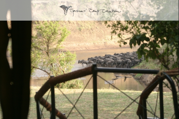 Luxury travel, Governors camps, migration in Mara - wildebeest crossing