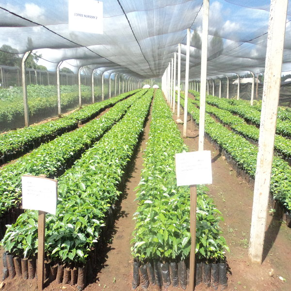 coffee farm seedlings in Kenya - coffee