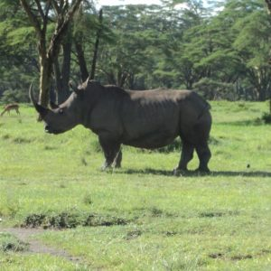 rhino in lake nakuru