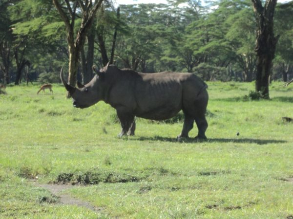 rhino in lake nakuru